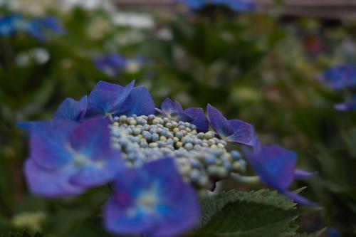 紫陽花SDIM0432