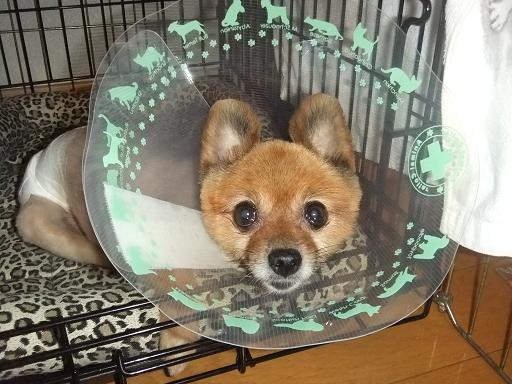 2011_0808保護犬0073