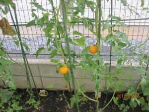 トマト黄色