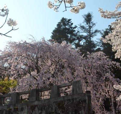 麻績の舞台桜1