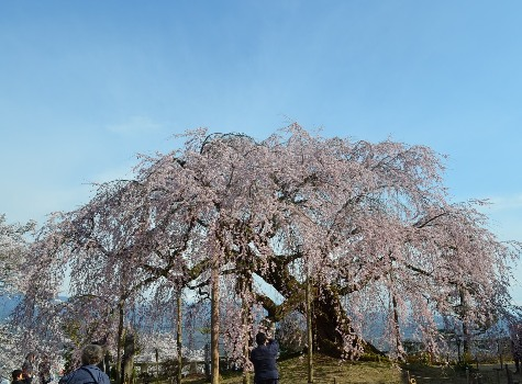 麻績の舞台桜2