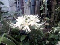 曼珠沙華(白いタイプ)