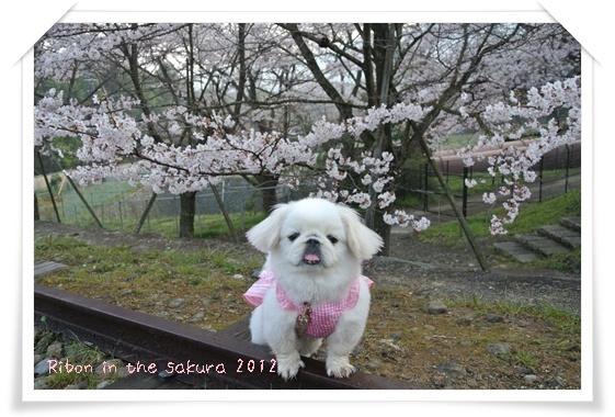 2012410桜 D