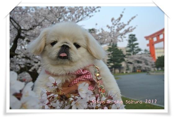 2012410桜 O