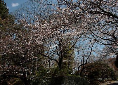 駿府公園の桜-2