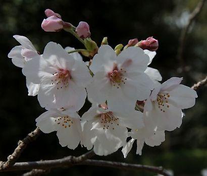 駿府公園の桜-6