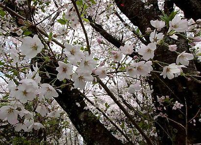谷津山の桜-5