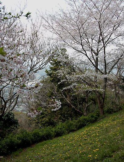 谷津山の桜-4
