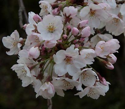谷津山の桜-6