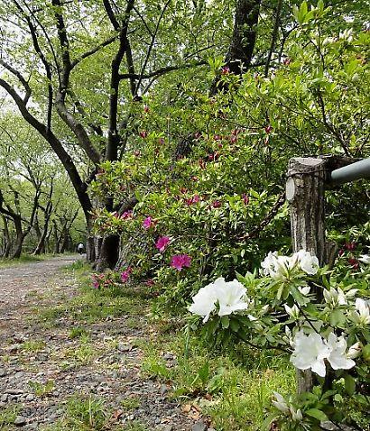 駿府公園のツツジ-2