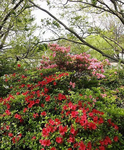 駿府公園のツツジ-3