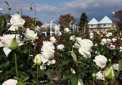 富士市薔薇園-1