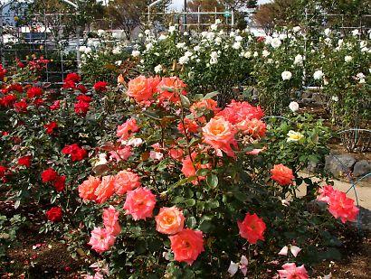 富士市薔薇園-2