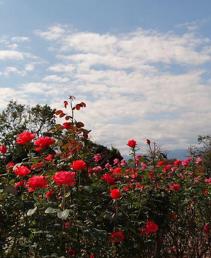富士市薔薇園-3