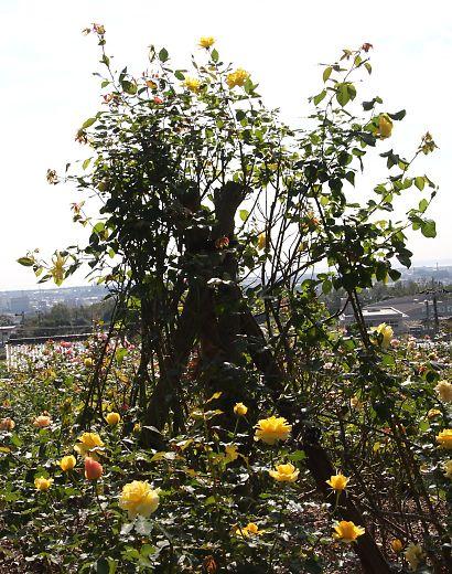 富士市薔薇園-4