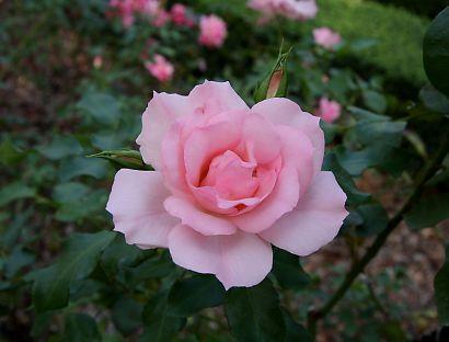 富士市薔薇園-5