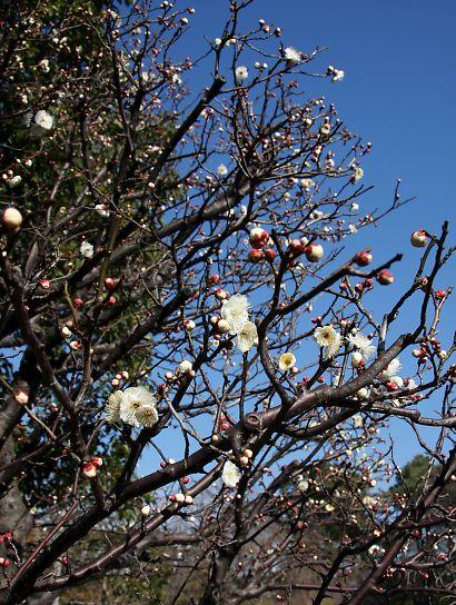 紅葉庭園の梅花-3