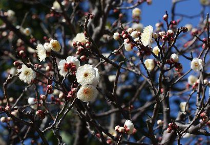 紅葉庭園の梅花-4
