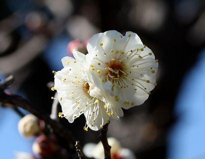 紅葉庭園の梅花-5