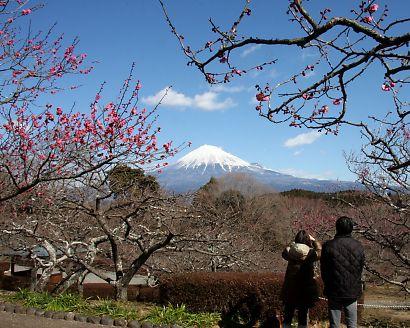 梅の岩本山-1