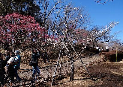 梅の岩本山-2