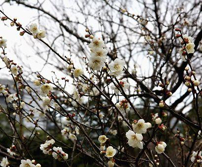 駿府公園の梅-2