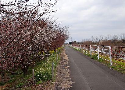 朝比奈堤防の桜-1
