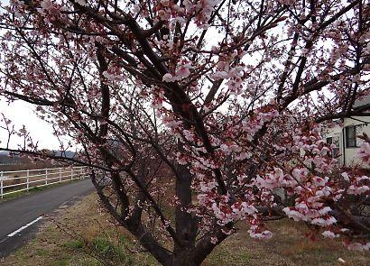 朝比奈堤防の桜-3