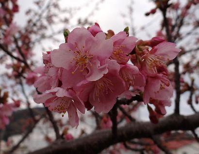 朝比奈堤防の桜-4