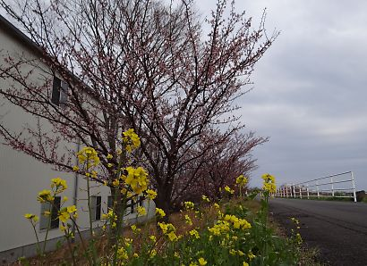 朝比奈堤防の桜-2