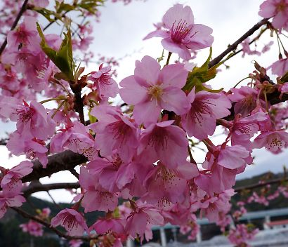 安倍川堤防美和桜-5