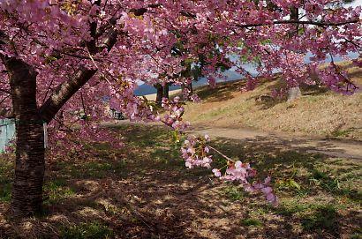 安倍川堤防美和桜-4