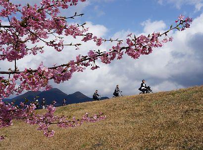 安倍川堤防美和桜-3