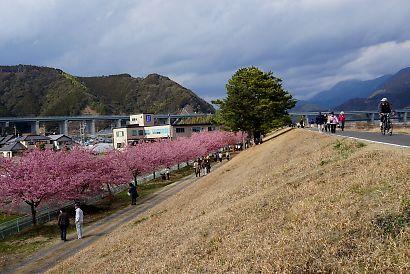 安倍川堤防美和桜-1
