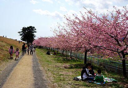 安倍川堤防美和桜-2