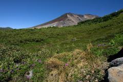 エゾコザクラと旭岳