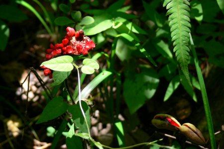 ヤマシャクヤク ( 山芍薬 )の果実
