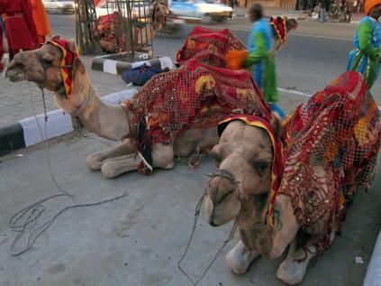 jaipur-camel.jpg