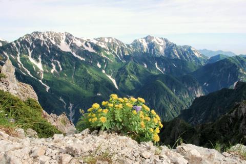 イワベンケイと立山連峰
