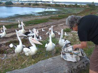 pelican feedig