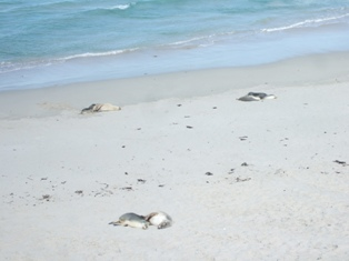 seals sleeping2