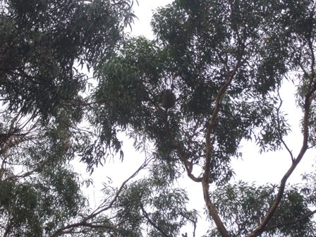 sleeping koala2