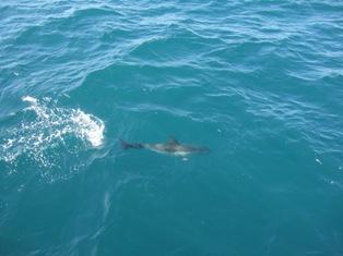baby dolphine