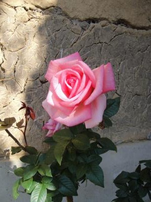 Rose②