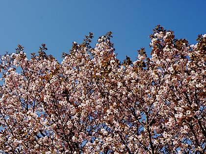 2012工房の桜1