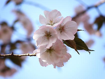 2012工房の桜4