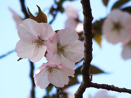 2012工房の桜5