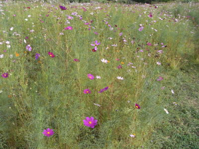 20090913コスモス畑