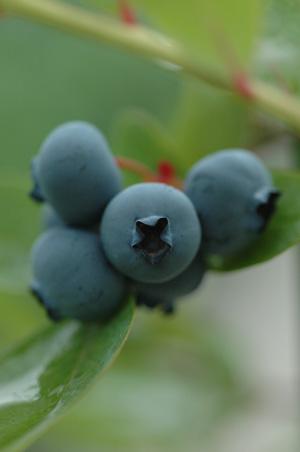 blueberry2011626-1.jpg