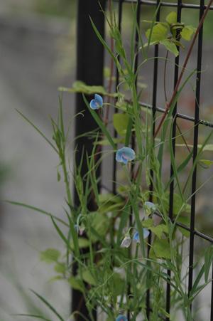 bluesweetpea2011609-1.jpg